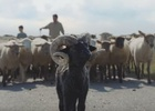 Brilliantly Bold Baby Ram Grabs Life by the Horns in Global VW Campaign