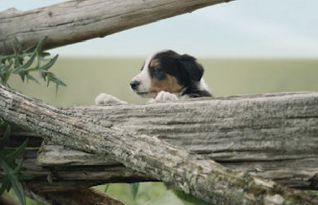 Adorable Puppies Join Forces with John Mastromonaco for New Subaru Ad