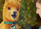 Passion Creates Wisecracking Alpaca Mojo for J2O