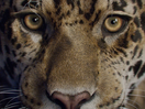 MPC Creates a Bold New Breakdown to Showcase Photo-Real Panthera Onca