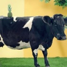 What Do Cows & Pineapples Have in Common? Quite a Bit it Turns Out