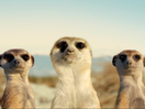 Toyota SA's Latest GR Spot Is a Meerkat-Themed 'Nod' to Rally Driving