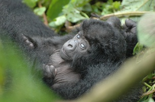 LIA Partners with McCann Health to Promote Gorilla Doctors Creative Competition