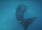 Apple's 'Shot on an iPhone' Goes Under the Sea in Shark Conservation Mini-Doc