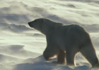 Canada Goose Documentary Shows Devastating Impact of Climate Change on Polar Bears