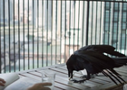 Raven Mail in FCB's GoT Inspired Campaign for Chicago Humanities Festival