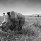 Portraits to Highlight Plight of White Rhino
