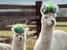 Get The Alpaca Look: BBH NY Creates Samsung Galaxy Note10 Ad