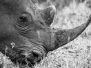 ROTHCO and Dublin Zoo's Print Campaign Exposes Shocking Reality of Rhino Poaching