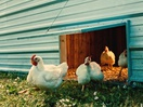 It 'Feels Good to Be Free Range' for the Chickens in This Foster Farms Campaign