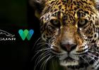 Jaguar NA and Wildlife Conservation Society Raise Awareness of Big Cat for International Jaguar Day
