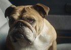 Telepathic Dog Stars in Bulldog Skincare Campaign