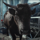 Your Shot: Collaborating with the Calmest Two-Tonne Bull for MoneySuperMarket