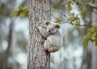 NRMA Insurance Promises to Protect Koala Homes with Emotional Campaign