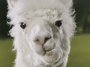 TBWA\London Wins PlayOJO Task and Introduces Dancing Alpaca