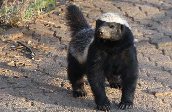 Johannesburg Zoo's LIVE Tweeting Badger