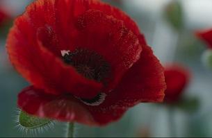 The Royal British Legion Rethinks Remembrance with Stunning CGI Poppy Advert