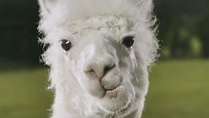 TBWA\London Wins PlayOJO Task and Introduces Dancing Alpaca