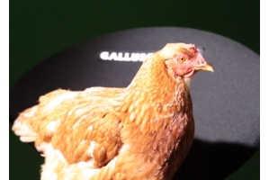 LG's Steadicam Chicken is Clucking Gutted at Failing at Eurobest