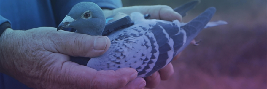 Plume Labs Launches London's First Ever Flock of Pollution-monitoring Pigeons