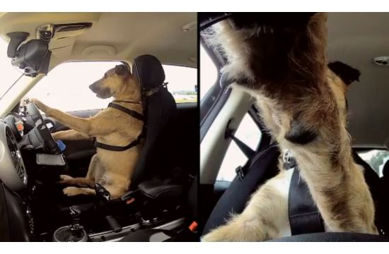 SPCA Dogs Learn to Drive with Mini
