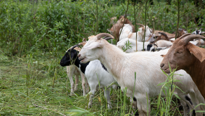 The ComEd Goats Are Back and Bring More Reliable Power Than Ever