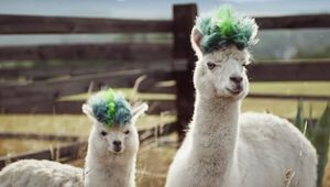 Get The Alpaca Look: BBH NY Creates Samsung Galaxy Note10 Ad